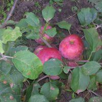 Прикопочная яблонька, Тамбовка
