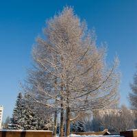 Tree near memorial, Мирный