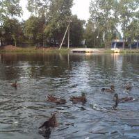 утки на пруду, Няндома