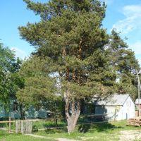 дерево, Плесецк