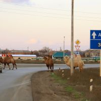 Camels crossing the roadway, Началово