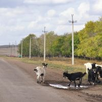 Goats on the road to Chekmagush, Чекмагуш