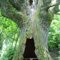 Старый дуб (второй), Жирятино