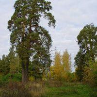 Сосна осенью, Клинцы