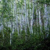 Birch grove, Илька