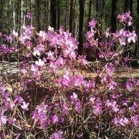 Багульник  Rhododendron dauricum, Кижинга