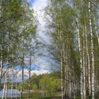 Birch Grove in Karabanovo, Карабаново