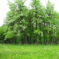Весна в колхозном саду побережье Чиганака, Алексеевская