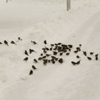 Sparrows on snow, Volgograd, Russia 2009, Волгоград