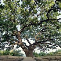 Магический дуб.  Magic oak, Дубовка