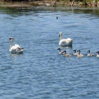 Лебеди, Палласовка