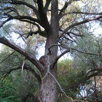 Зловещее дерево, Петропавловка