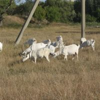 козы на лугу . goats on the meadow, Репьевка