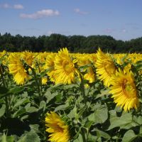 Sunflowers - the flowers of Summer, the seeds of Sun(07.08.2008), Хохольский