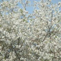 Вишневый цвет, Бутурлино