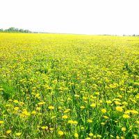 Одуванчиковое поле, Кулебаки