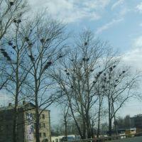 Весна, вороны., Лысково