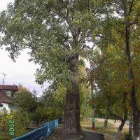 большое дерево, Спасское
