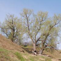 деревья, Чкаловск