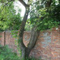 Дерево приросшее к стене, Заволжск
