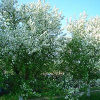 Яблони в цвету, Пестяки
