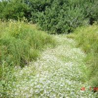 Ручей цветов (у тропы Кохма - ТЭЦ-3), Кохма