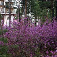 цветущий багульник, Саянск