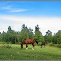 Horses.  Лошадки в пойме Китоя., Ангарск
