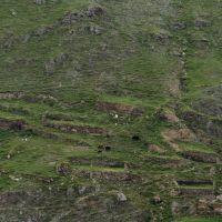 Коровы на развалинах, Тырныауз