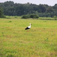 Stork / Аист, Гурьевск