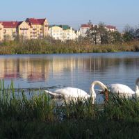 Swans in the city. Ring Str. Zelenogradsk (Weg zur Kurische Nehrung, Kranz) Oct. 2011., Зеленоградск