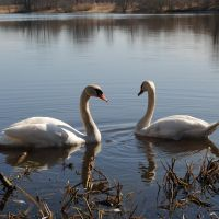 Swans on the lake, Мамоново