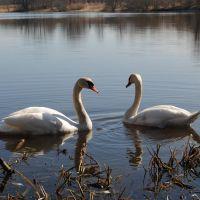 Swans on the lake, Мамоново
