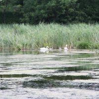 Лебеди с лебедятами, Мамоново