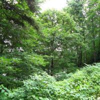Откосы поросшие деревьями. г.Светлогорск (ранее Rauschen), Светлогорск