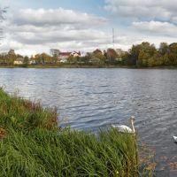 Лебеди на Городском пруду в Советске., Советск