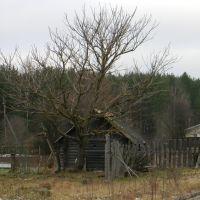 Страшное дерево, Березайка