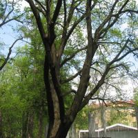 Калуга, ЦПКиО. 500-летний дуб (17.05.2007), Калуга