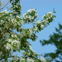 Камчатские яблони, Атласово