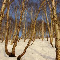 Березовый лес на сопке Зеркальной, Петропавловск-Камчатский