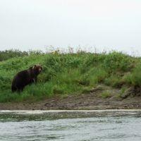 Медведь  Камчатка р.Большая, Усть-Большерецк