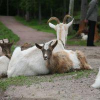 Валаамские козы., Валаам