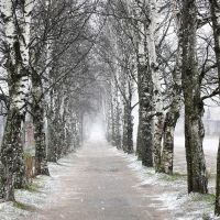 Birch alley | Березовая аллея, Пудож