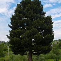 Кедр - памятник живой природы, Березовский