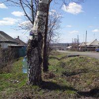 сбор берёзового сока в посёлке, Грамотеино