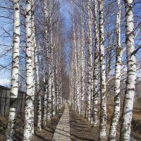 Березовая аллея на ул. Лесная, Кикнур