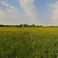 A field of dandelions, Ustie-Village, Подосиновец