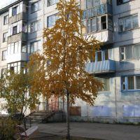 Берёза во дворе на Ленинградской, Воркута