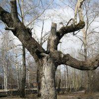 Кривое деревце в парке им. Дубинина, Печора