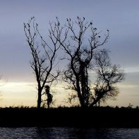 Бакланы на ночёвке (рукав реки Кубань), Ачуево
